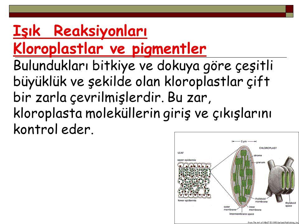 Işık Reaksiyonları Kloroplastlar ve pigmentler Bulundukları bitkiye ve dokuya göre çeşitli büyüklük ve şekilde olan kloroplastlar çift bir zarla çevri