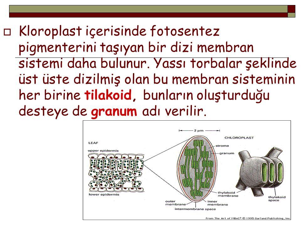  Kloroplast içerisinde fotosentez pigmenterini taşıyan bir dizi membran sistemi daha bulunur. Yassı torbalar şeklinde üst üste dizilmiş olan bu membr