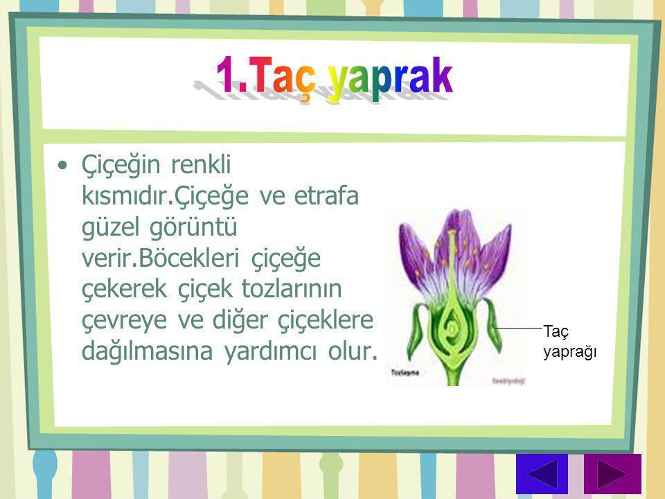 •Çiçeğin renkli kısmıdır.Çiçeğe ve etrafa güzel görüntü verir.Böcekleri çiçeğe çekerek çiçek tozlarının çevreye ve diğer çiçeklere dağılmasına yardımc