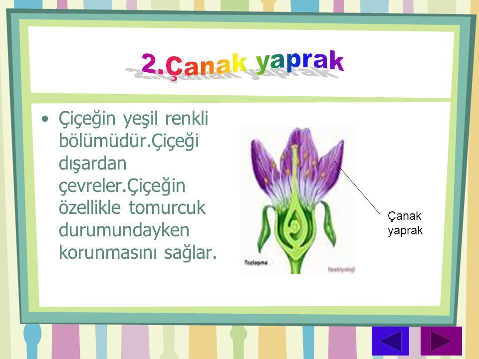 •Çiçeğin yeşil renkli bölümüdür.Çiçeği dışardan çevreler.Çiçeğin özellikle tomurcuk durumundayken korunmasını sağlar. Çanak yaprak