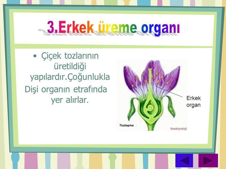 •Çiçek tozlarının üretildiği yapılardır.Çoğunlukla Dişi organın etrafında yer alırlar. Erkek organ
