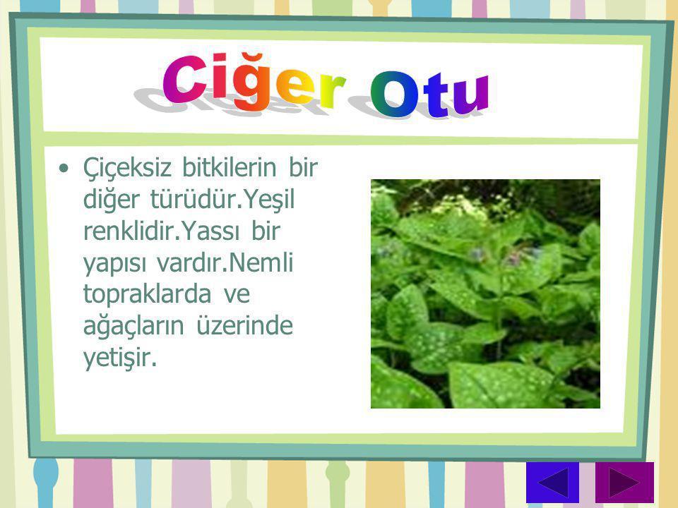 •Çiçeksiz bitkilerin bir diğer türüdür.Yeşil renklidir.Yassı bir yapısı vardır.Nemli topraklarda ve ağaçların üzerinde yetişir.