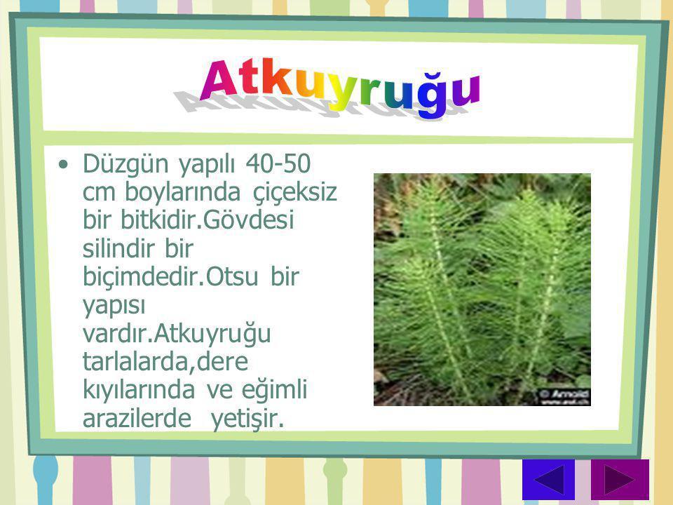 •Düzgün yapılı 40-50 cm boylarında çiçeksiz bir bitkidir.Gövdesi silindir bir biçimdedir.Otsu bir yapısı vardır.Atkuyruğu tarlalarda,dere kıyılarında