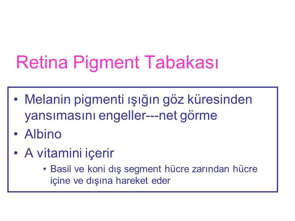 Retina Pigment Tabakası •Melanin pigmenti ışığın göz küresinden yansımasını engeller---net görme •Albino •A vitamini içerir •Basil ve koni dış segment