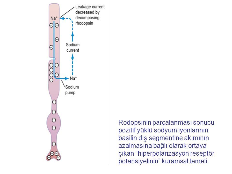 """Rodopsinin parçalanması sonucu pozitif yüklü sodyum iyonlarının basilin dış segmentine akımının azalmasına bağlı olarak ortaya çıkan """"hiperpolarizasyo"""