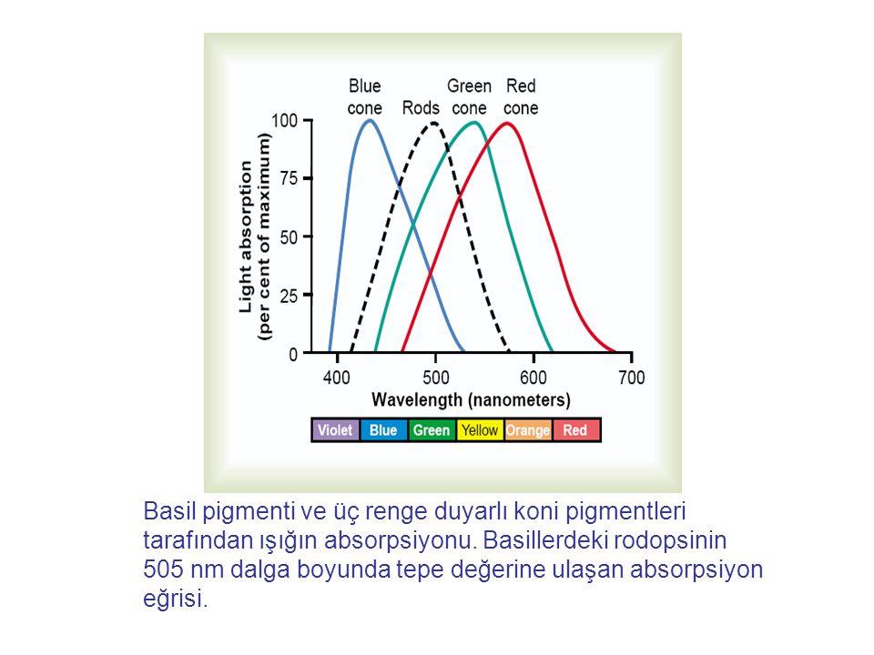 Basil pigmenti ve üç renge duyarlı koni pigmentleri tarafından ışığın absorpsiyonu. Basillerdeki rodopsinin 505 nm dalga boyunda tepe değerine ulaşan