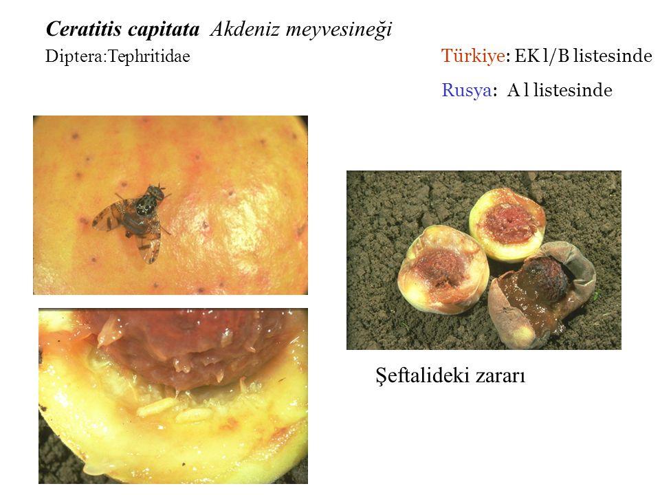Parazitoit çıkış delikleri Şeftali ağacındaki zararı