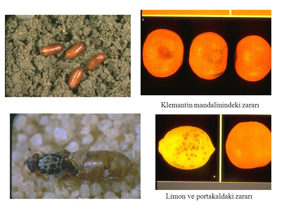 Frankliniella occidentalis Çiçek tripsi Thysanoptera:Thripidae Türkiye:Var, EK l/B listesinde Rusya: A l listesinde Çiçeklerin petal'leri üzerinde yumurtalar Pupa Marul yaprağındaki zararı Polifag, 244 konukçu, sebze ve süs bitkileri, çiçeklerinde ve yapraklarda zararlı, virüs vektörü Üretim materyali ve kesme çiçeklerle taşınır.Üretim yerinin temiz olması istenir