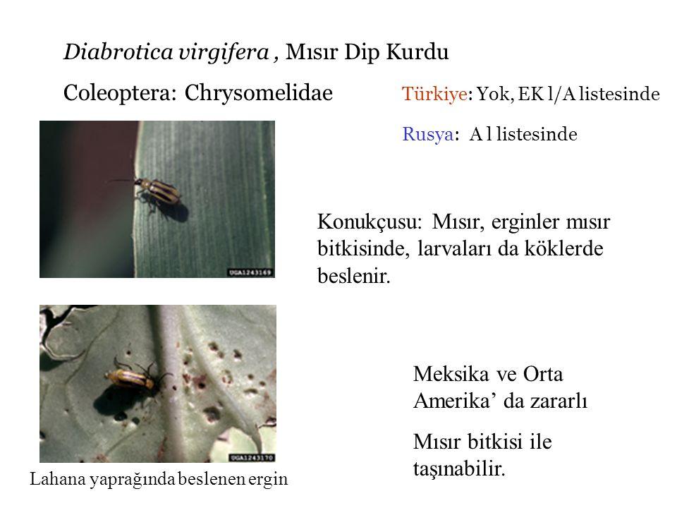 Liriomyza huidobrensis, Yaprak galeri sinekleri Diptera: Agromyzidae Türkiye: Var, Ekl/B listesinde genelinde yaygın Rusya: A l listesinde Marul yaprağındaki yumurta Pupa Marul yaprağında galeriler ve pupa