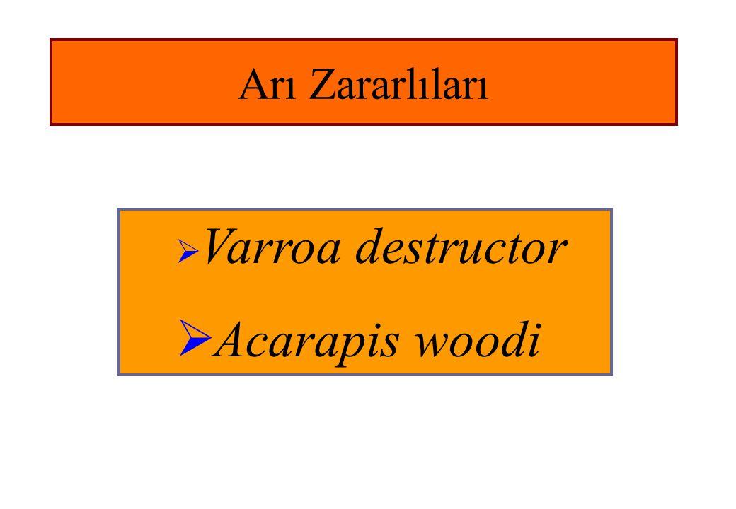 Arı Zararlıları  Varroa destructor  Acarapis woodi