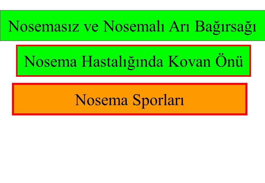 Nosemasız ve Nosemalı Arı Bağırsağı Nosema Hastalığında Kovan Önü Nosema Sporları