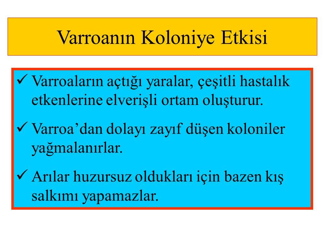 Varroanın Koloniye Etkisi  Varroaların açtığı yaralar, çeşitli hastalık etkenlerine elverişli ortam oluşturur.  Varroa'dan dolayı zayıf düşen koloni