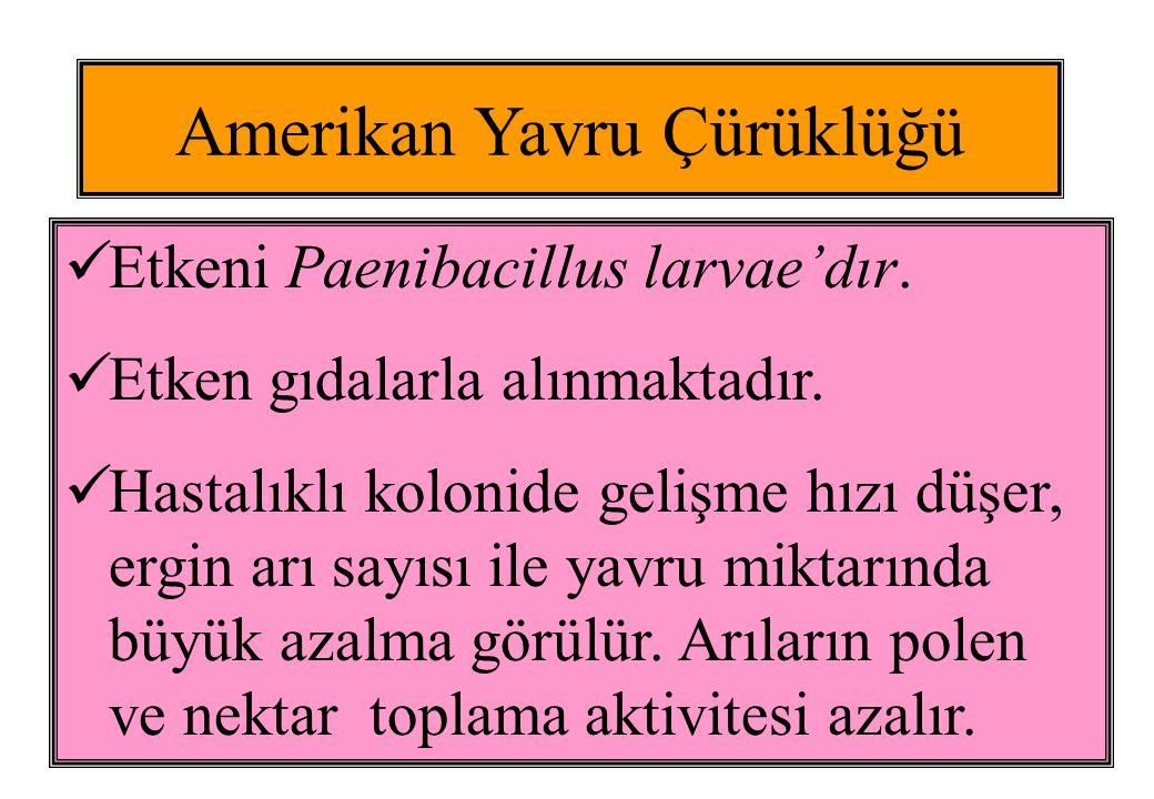 Amerikan YÇ'de Düzensiz Petek Amerikan YÇ'de Petek Gözleri Amerikan YÇ'de Ölmüş Pupa Dili Amerikan YÇ'de Larvanın Uzaması