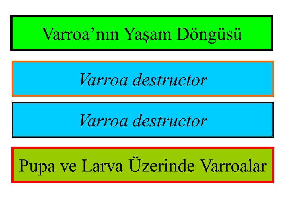 Varroa'nın Yaşam Döngüsü Varroa destructor Pupa ve Larva Üzerinde Varroalar