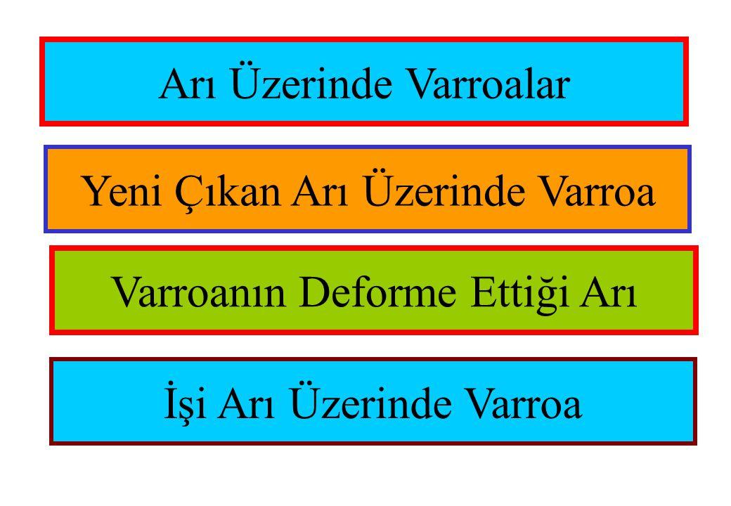 Arı Üzerinde Varroalar Yeni Çıkan Arı Üzerinde Varroa Varroanın Deforme Ettiği Arı İşi Arı Üzerinde Varroa