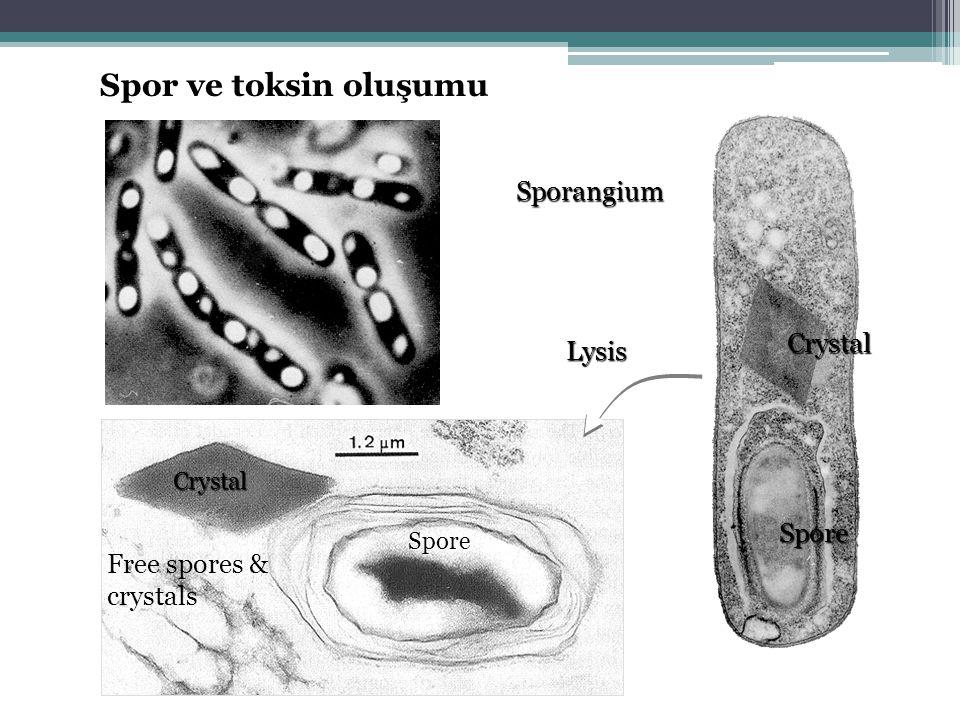 Sporangium Spore Crystal Spore Free spores & crystals Crystal Lysis Spor ve toksin oluşumu