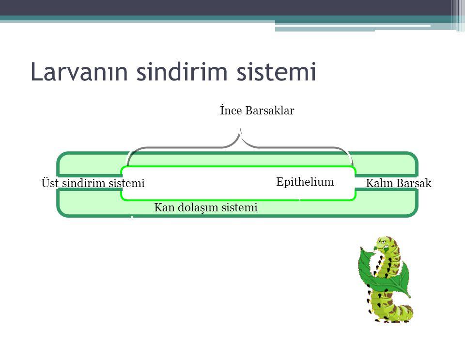 Larvanın sindirim sistemi Kan dolaşım sistemi Epithelium İnce Barsaklar Üst sindirim sistemiKalın Barsak