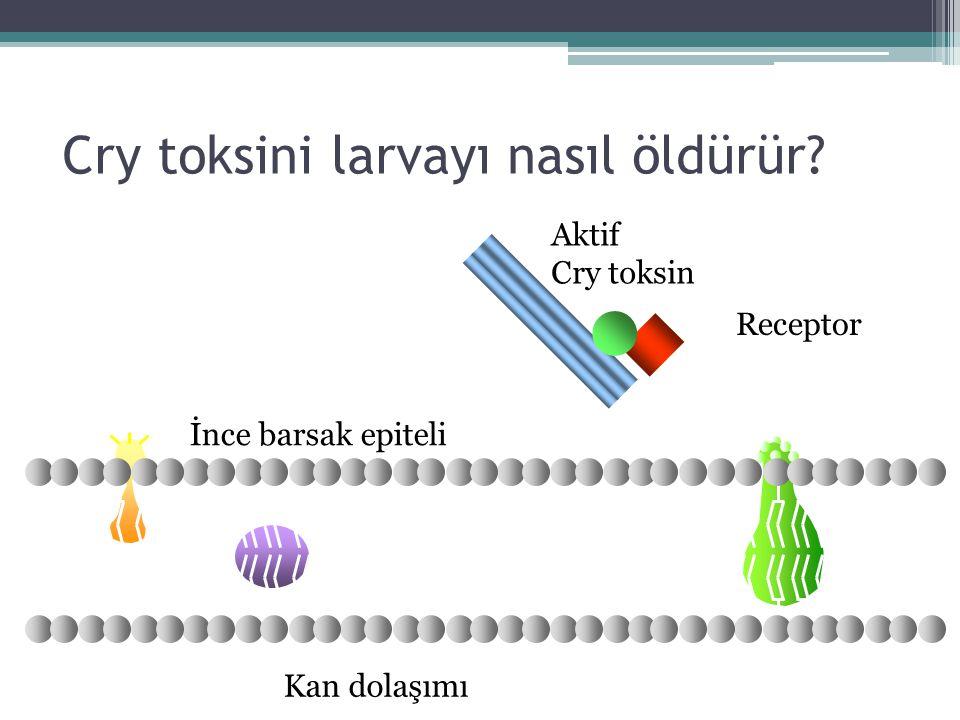Cry toksini larvayı nasıl öldürür? Kan dolaşımı Aktif Cry toksin Receptor İnce barsak epiteli