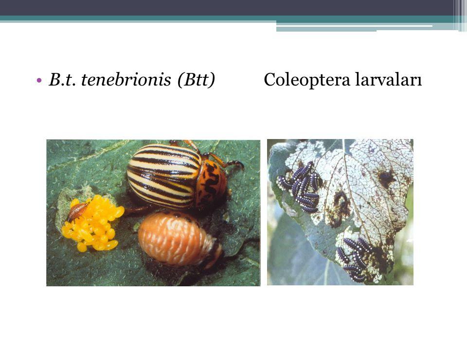 •B.t. tenebrionis (Btt)Coleoptera larvaları
