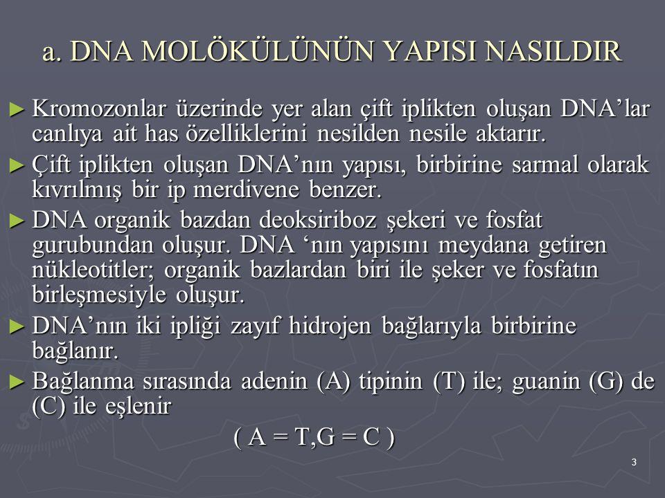 3 a. DNA MOLÖKÜLÜNÜN YAPISI NASILDIR ► Kromozonlar üzerinde yer alan çift iplikten oluşan DNA'lar canlıya ait has özelliklerini nesilden nesile aktarı