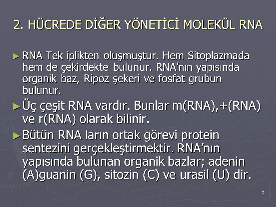 5 2. HÜCREDE DİĞER YÖNETİCİ MOLEKÜL RNA ► RNA Tek iplikten oluşmuştur. Hem Sitoplazmada hem de çekirdekte bulunur. RNA'nın yapısında organik baz, Ripo