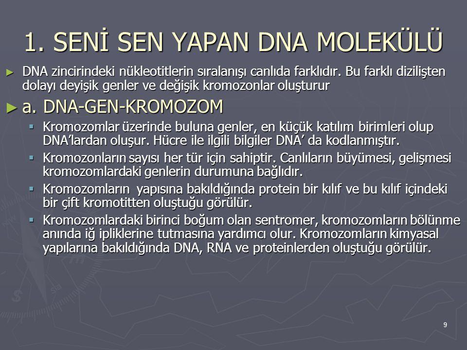 9 1. SENİ SEN YAPAN DNA MOLEKÜLÜ ► DNA zincirindeki nükleotitlerin sıralanışı canlıda farklıdır. Bu farklı dizilişten dolayı deyişik genler ve değişik