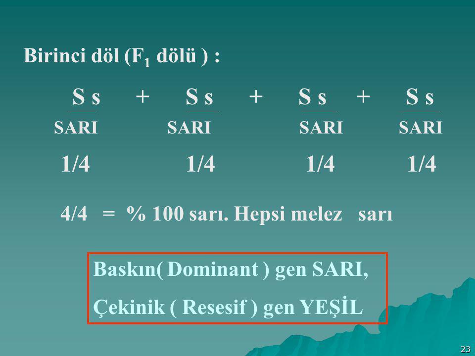 23 Birinci döl (F 1 dölü ) : S s + S s + S s + S s SARI SARI SARI SARI 1/4 1/4 4/4 = % 100 sarı. Hepsi melez sarı Baskın( Dominant ) gen SARI, Çekinik