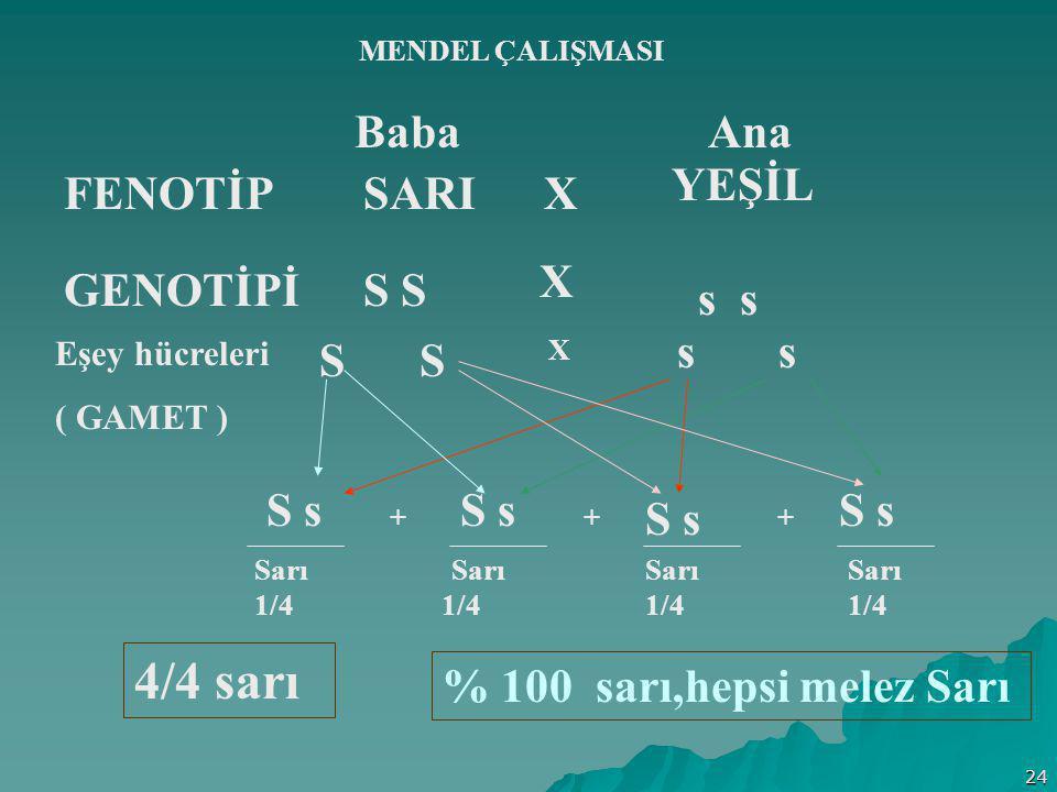 24 MENDEL ÇALIŞMASI Baba Ana FENOTİPSARI YEŞİL X GENOTİPİS s Eşey hücreleri ( GAMET ) S X s S s + + + Sarı 1/4 % 100 sarı,hepsi melez Sarı X S s 4/4 s