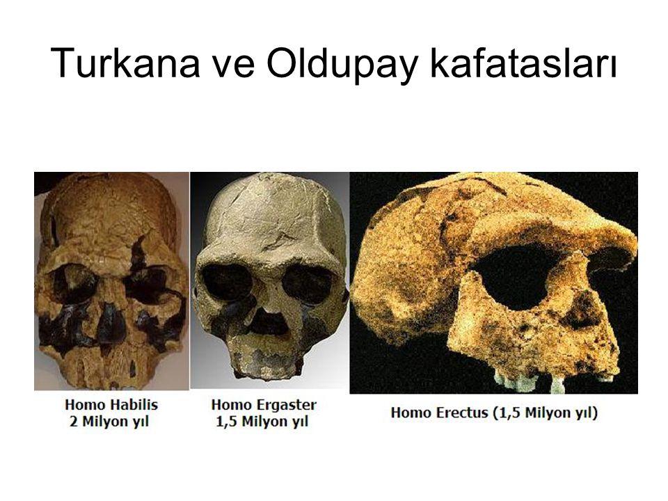 Turkana ve Oldupay kafatasları