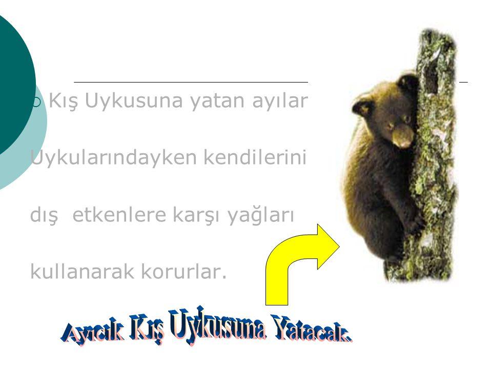 KKış Uykusuna yatan ayılarda Uykularındayken kendilerini dış etkenlere karşı yağları kullanarak korurlar.