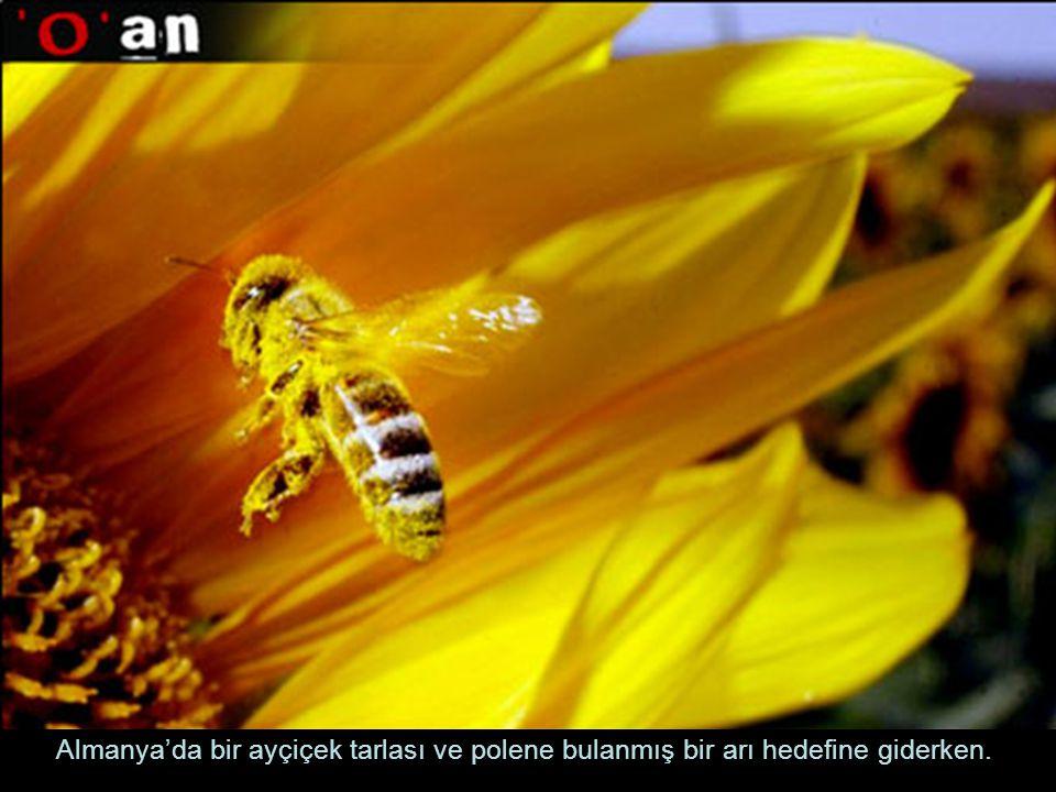 Almanya'da bir ayçiçek tarlası ve polene bulanmış bir arı hedefine giderken.