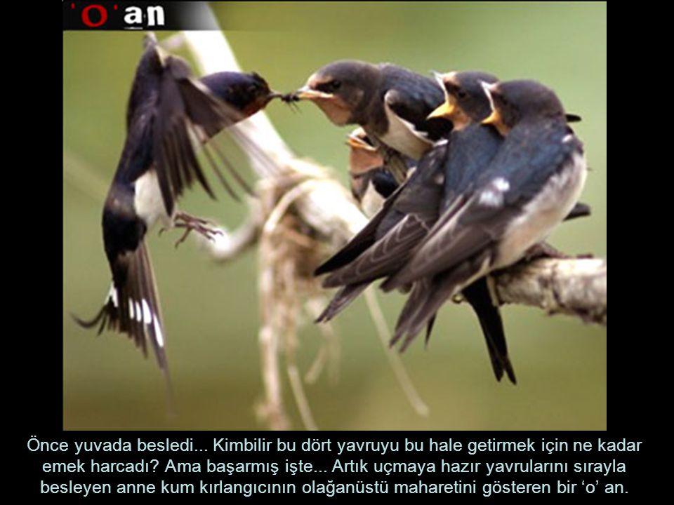 Önce yuvada besledi... Kimbilir bu dört yavruyu bu hale getirmek için ne kadar emek harcadı? Ama başarmış işte... Artık uçmaya hazır yavrularını sıray