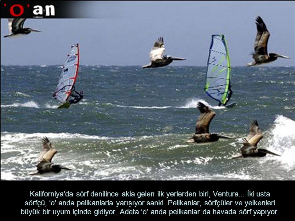 Kaliforniya'da sörf denilince akla gelen ilk yerlerden biri, Ventura... İki usta sörfçü, 'o' anda pelikanlarla yarışıyor sanki. Pelikanlar, sörfçüler