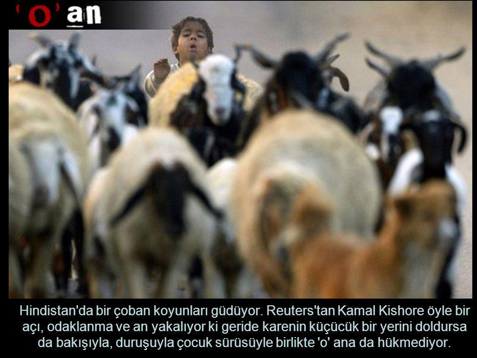 Hindistan da bir çoban koyunları güdüyor.
