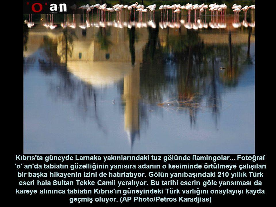 Kıbrıs ta güneyde Larnaka yakınlarındaki tuz gölünde flamingolar...