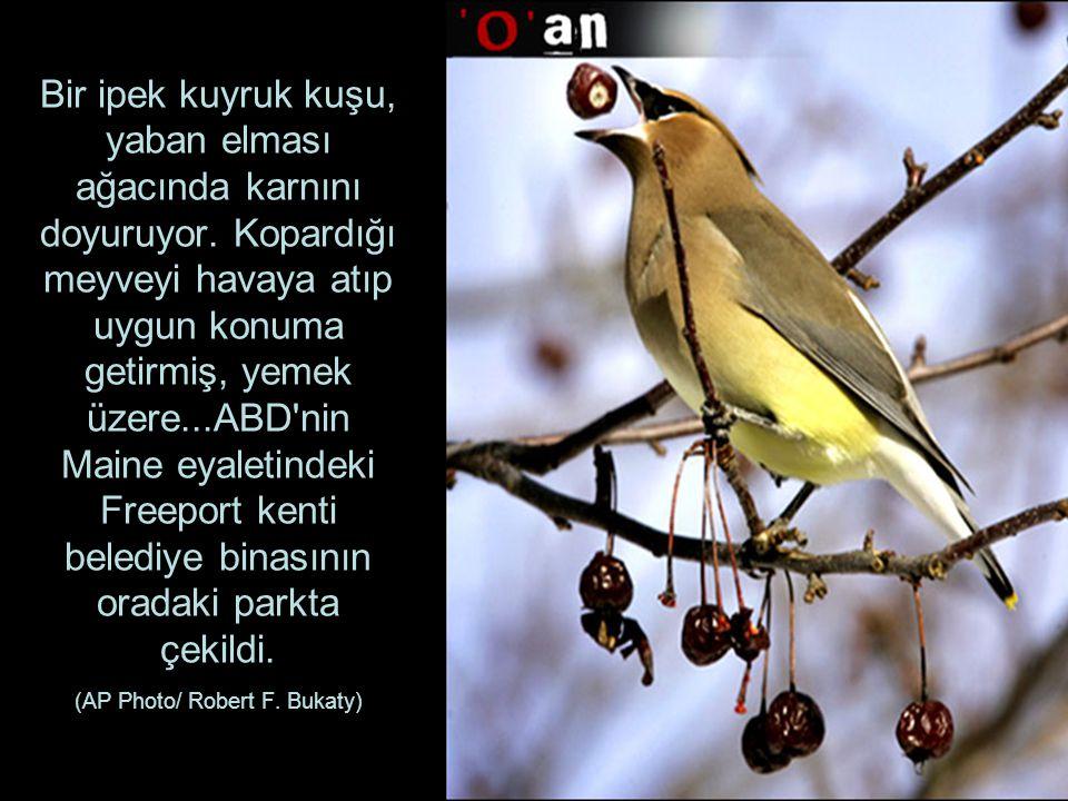 Bir ipek kuyruk kuşu, yaban elması ağacında karnını doyuruyor.