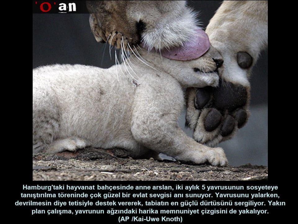 Hamburg taki hayvanat bahçesinde anne arslan, iki aylık 5 yavrusunun sosyeteye tanıştırılma töreninde çok güzel bir evlat sevgisi anı sunuyor.