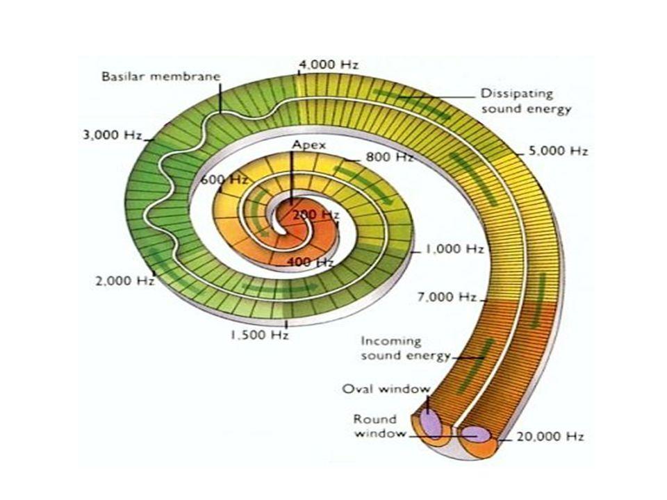 İşitme sistemine organik hasar veren gürültünün etkisi aşağıdaki faktörlere bağlıdır : •Gürültünün şiddetine •Gürültünün süresine •Gürültünün frekans içeriğine •Gürültüye maruz kalınma süresine •Kişisel hassasiyete