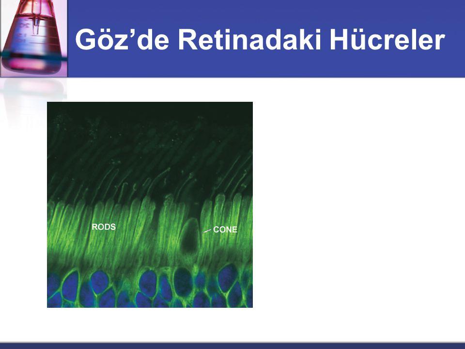 Görmede Vitamin A Çubuk ve koni hücreleri : Çubuk: - düşük düzey ışık - zayıf renkli cevap Koni : - yüksek ışık düzeyi - yüksek renkli cevap
