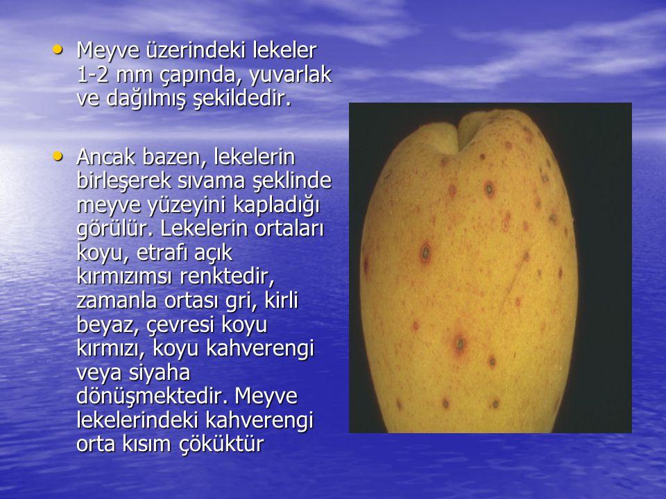 • Meyve üzerindeki lekeler 1-2 mm çapında, yuvarlak ve dağılmış şekildedir. • Ancak bazen, lekelerin birleşerek sıvama şeklinde meyve yüzeyini kapladı