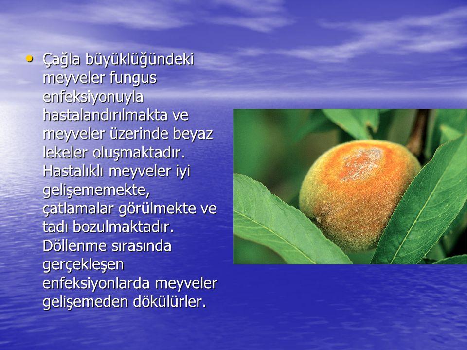 • Çağla büyüklüğündeki meyveler fungus enfeksiyonuyla hastalandırılmakta ve meyveler üzerinde beyaz lekeler oluşmaktadır. Hastalıklı meyveler iyi geli