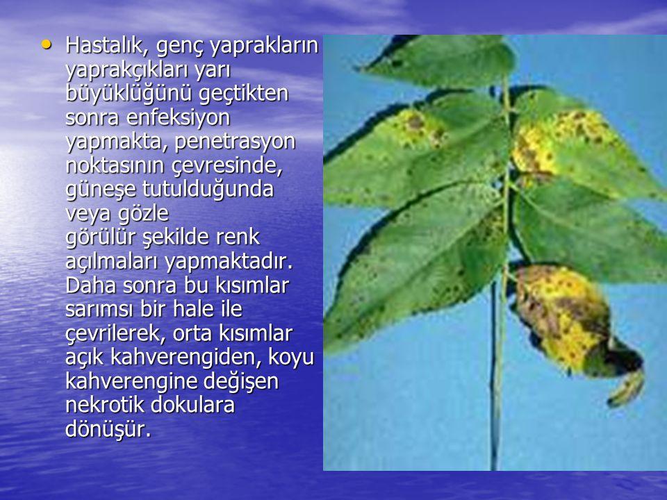 • Hastalık, genç yaprakların yaprakçıkları yarı büyüklüğünü geçtikten sonra enfeksiyon yapmakta, penetrasyon noktasının çevresinde, güneşe tutulduğunda veya gözle görülür şekilde renk açılmaları yapmaktadır.