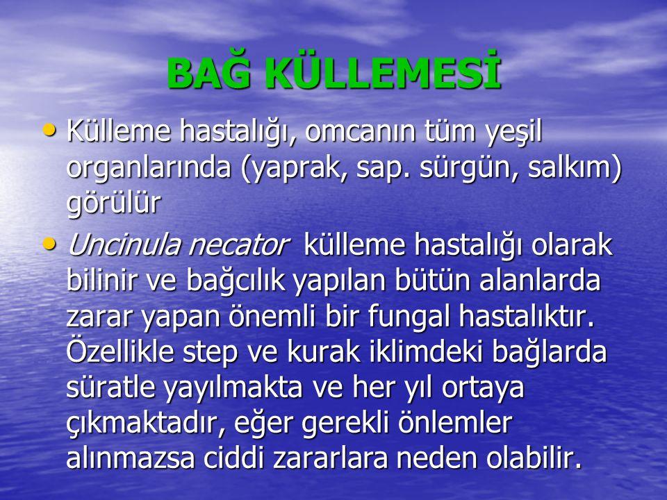 BAĞ KÜLLEMESİ • Külleme hastalığı, omcanın tüm yeşil organlarında (yaprak, sap. sürgün, salkım) görülür • Uncinula necator külleme hastalığı olarak bi