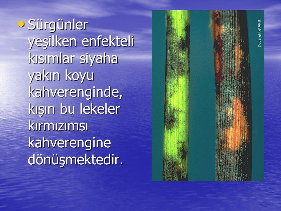 • Sürgünler yeşilken enfekteli kısımlar siyaha yakın koyu kahverenginde, kışın bu lekeler kırmızımsı kahverengine dönüşmektedir.