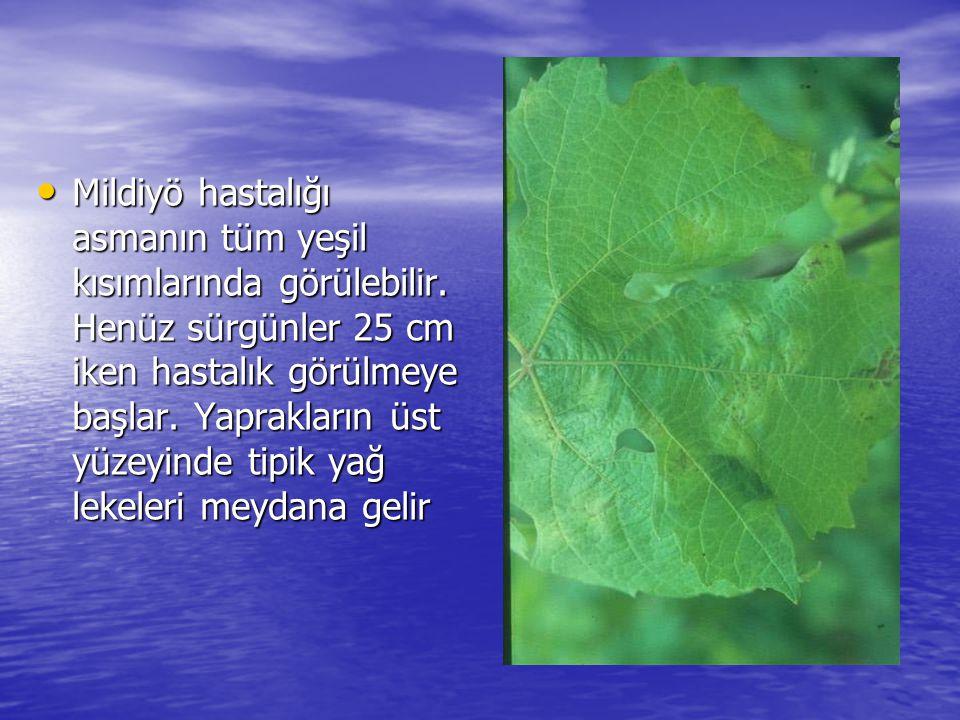 • Mildiyö hastalığı asmanın tüm yeşil kısımlarında görülebilir. Henüz sürgünler 25 cm iken hastalık görülmeye başlar. Yaprakların üst yüzeyinde tipik
