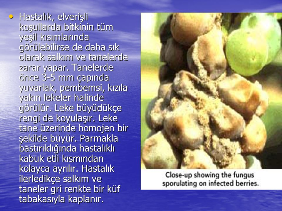 • Hastalık, elverişli koşullarda bitkinin tüm yeşil kısımlarında görülebilirse de daha sık olarak salkım ve tanelerde zarar yapar. Tanelerde önce 3-5