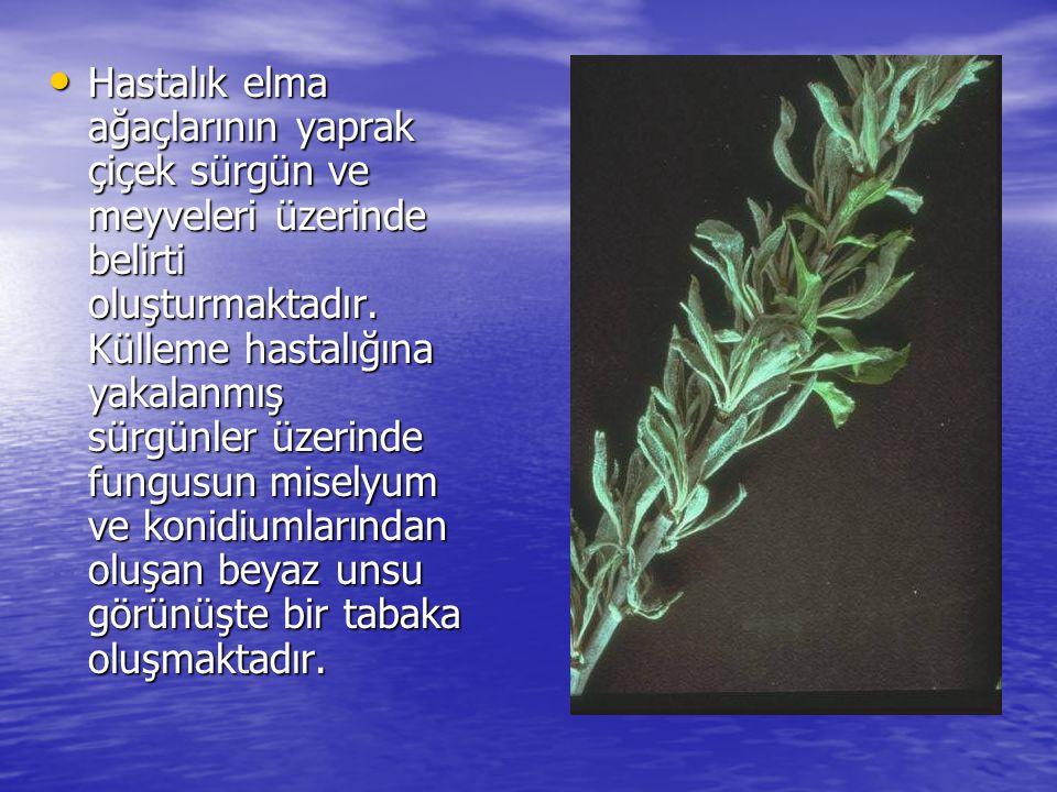 • Hastalık elma ağaçlarının yaprak çiçek sürgün ve meyveleri üzerinde belirti oluşturmaktadır. Külleme hastalığına yakalanmış sürgünler üzerinde fungu