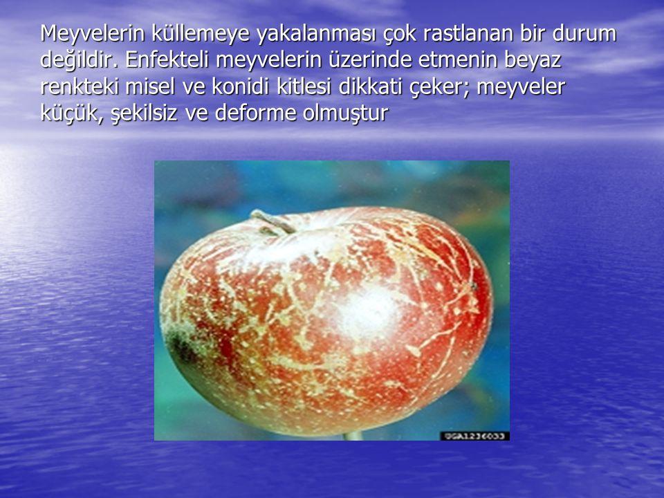 Meyvelerin küllemeye yakalanması çok rastlanan bir durum değildir. Enfekteli meyvelerin üzerinde etmenin beyaz renkteki misel ve konidi kitlesi dikkat
