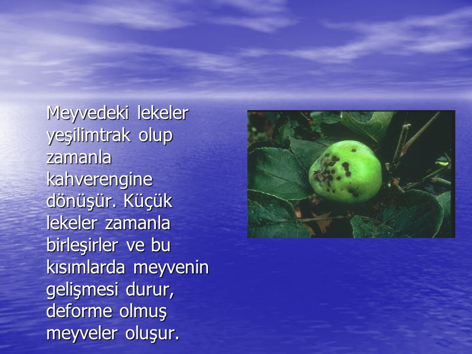 Meyvedeki lekeler yeşilimtrak olup zamanla kahverengine dönüşür.
