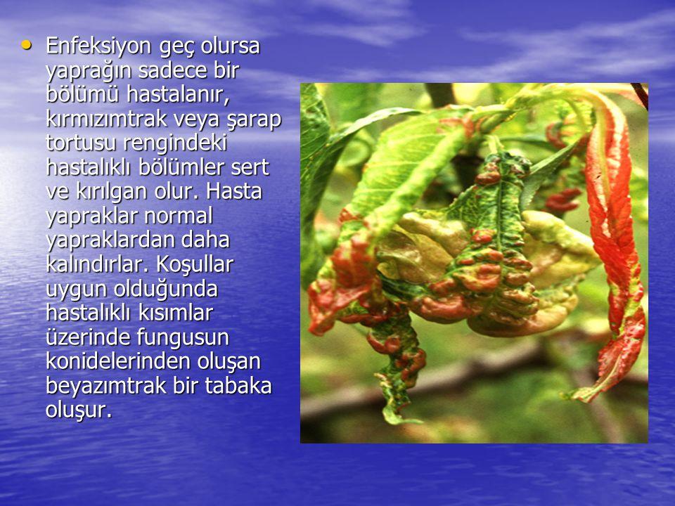 • Enfeksiyon geç olursa yaprağın sadece bir bölümü hastalanır, kırmızımtrak veya şarap tortusu rengindeki hastalıklı bölümler sert ve kırılgan olur.